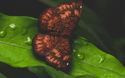 Het rode Aziatische vlindertje wat opeens giftig bleek te zijn